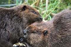 Grooming Beavers (Peggy Collins) Tags: two canada wet couple britishcolumbia pair momanddad beaver grooming pacificnorthwest marsh mates sunshinecoast beavers twosome castorcanadensis nationalanimal motherandfather canadianbeaver specanimal northamericanbeaver peggycollins marshanimals animalmates beaverparents