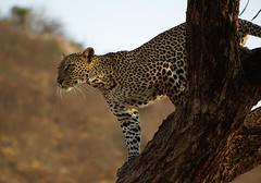 Samburu - leopard (Sallyrango) Tags: africa kenya safari leopard samburu africanwildlife naturesgallery highqualityanimals samburugamepark