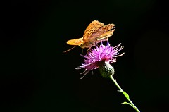 Butterfly on the Flower which i don't know name of it :) (Samir Cabbarov) Tags: flower butterfly lens nikon telephoto nikkor afs 70300 f4556g d5100