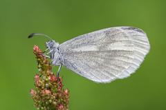 Leptidea sinapis (Prajzner) Tags: lepidoptera leptideasinapis woodwhite butterfly sigma105mmmacro sigma subcarpathia macro manfrotto manfrottomt190xpro3 bokeh nature nikond7100 prajzner poland