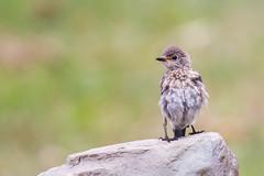 All Puffed Up (ChrisF_2011) Tags: bluebird blue bird wildlife nature fledgling