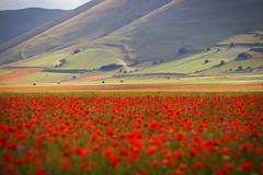 Rosso & Verde (Ale*66*) Tags: castelluccio fioritura2016 poppies papaveri red rosso light montisibillini landscape paesaggio umbria italy canon6d