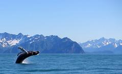 humpback whale Alaska (Ruben Esparza Bayona) Tags: animal animales blue ballena whale wild salvaje humpbackwhale ballenajorobada alaska mamifero mammal ocean oceano mar sea salto jump
