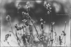 Flowers (Maite Rodrguez Photography) Tags: flowers textures outdoors nikon d610 nikkor 50mm