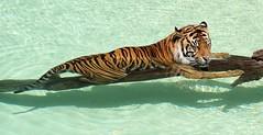 Underwater Catnap (greekgal.esm) Tags: sumatrantiger tiger bigcat cat feline animal mammal carnivore cj castrojr losangeleszoo lazoo losangeles griffithpark california sony a77m2 a77mii sal70300g water pool