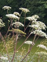 water dropwort (mark.griffin52) Tags: grandunioncanal olympusem5 england buckinghamshire slapton nature wildflower flower hemlock waterdropwort