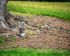 Ready to eat (randyherring) Tags: grass morning graysquirrel closeup tree squirrel losgatos california ca park outdoor liveoakmanorpark green gray unitedstates us