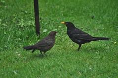 Blackbird Dinner Time (Latimer's Paradox) Tags: birds gardenbirds blackbirds juvenileblackbird birdsfeeding turdusmerula turdidae