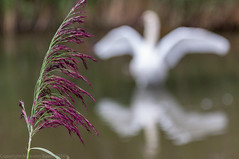 Swaying (Malc Bawn) Tags: swan grass purple sway grasses