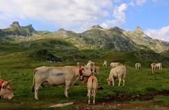Toilettage du petit veau sur le plateau d'Anou dans les Pyrnes (escaledith) Tags: troupeau vache veau montagne nature estives randonne paysage plateaudanou pourtalet pyrnesalantiques 64 france animal fabuleuse