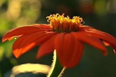 stamen dance (joy.jordan) Tags: sunflower color light texture blur bokeh 52by52