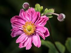 Japanese Anemone (Maria-H) Tags: trafford england unitedkingdom gb japaneseanemone flower dunhammassey garden cheshire uk panasonic gh4 dmcgh4 100400