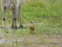 Amazonetta brasilensis  (Luis G. Restrepo) Tags: p2140088 ave bird casanare colombia southamerica eno2016 amazonettabrasilensis brazilianduck patobrasileo anatidae