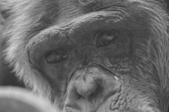 look from ages (dfromonteil) Tags: ape chimpanz chimpanzee animal look eye bw nature portrait closeup bokeh expression sadness regard