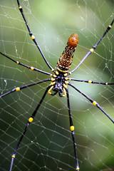 IMG_0433 (trevor.patt) Tags: palauubin singapore orbweaver spider nephila web