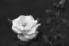 *** (pszcz9) Tags: polska poland przyroda nature kwiat flower zblienie closeup bokeh ra rose beautifulearth sony a77 bw blackandwhite monochrome czarnobiae