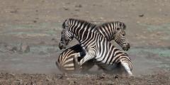 Wrestling Match (leendert3) Tags: zebra ngc sunrays5 npc