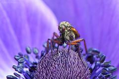 Rebozado (Maite Mojica) Tags: insecto artrpodo polen violeta morado flor amapola estambres alimento libar primavera