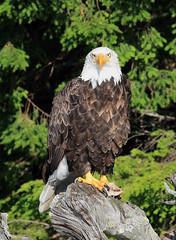 Bald Eagle (millerb34) Tags: birdperfect