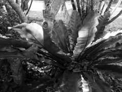Asplenium nidus en noir et Blanc (YAZMDG (16,000 images)) Tags: mono monochrome monochromatic bw nb noiretblanc blackandwhite aspleniumnidus fronds nature leaves