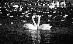 Heart-warming (K16mix) Tags: japan swan nature wildbird love bond heart warming