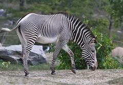 The Dancing Zebra (praja38) Tags: grevys zebra wild equid grevyszebra horse stripes hoof hooves animal caps cap capricorn humour life wildlife nature toronto ontario canada canadian zoo dance prance moving mane belly mammal