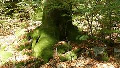 Moos-Baum im Hunsrück