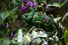 chameleon (Gebian) Tags: tier chameleon berlin zoo