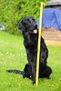 _DSC530322 (Flat Coated Retriever in Berlin) Tags: zeuthen 20011 clicker halten