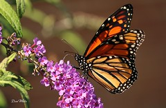 monarch (don.white55 That's wild...) Tags: monarchdanausplexippus harrisburgpennsylvania dauphincounty donpwhitephotography thatswildnaturephotography butterfly canone0s7od canoneos70defs55250mmf456isii nature butterflyplant wow