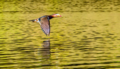 Flight of the mandarin (Steve-h) Tags: nature natura natur naturaleza bird duck mandarin drake flight flying fly water pond lake park bushypark dublin ireland europe reflections reflection colour colours red pink orange gold white brown blue green wildlife wildfowl fauna aquaticbird spring april 2016 breeding season sun sunlight sunshine sunny ef eos canon camera lens steveh