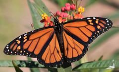 Monarch Butterfly (ksblack99) Tags: monarch butterfly butterflyweed asclepias