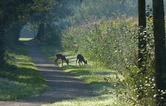 Roe deer on the cycle path (joeke pieters) Tags: 1290876 panasonicdmcfz150 ree reen roedeer achterhoek gelderland nederland netherlands holland landschap landscape landschaft paysage fietspad cyclepath biketrack