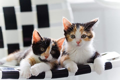 Sister kittens (crescentcitycatclub) Tags: kitten cat pet two pair twins couple sisters animal chair lawnchair innocent innocence sweet little pink calico baby kitty adorable small nose sniff wideeyed summer spring outdoor outside explore curious curiosity cuddle cuddly playful friendly play cute feline black brown white wonder wonderful amaze amazement look gaze stare think thinking