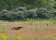 Juvenile red fox - sniffing out prey - (Wouter's Wildlife Photography) Tags: nature mammal wildlife hunting sniffing predator vos redfox vulpesvulpes meijendel roofdier zoogdier