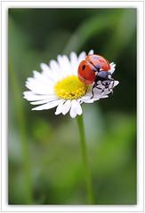 Siebenpunktkäfer - Coccinella septempunctata - Ladybird on Daisy (steffi's) Tags: charm daisy ladybird gänseblümchen marienkäfer coccinellidae coccinella coccinellaseptempunctata sevenspotladybird sonnenkäfer glückskäfer massliebchen muttergotteskäfer siebenpunktkäfer blattlauskäfer mariechäferli tausenschönchen ladybirdondaisy augenblümschen