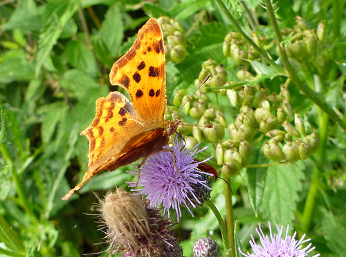 Brown Fritillary Butterfly