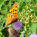 Brown Fritillary Butterfly