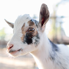 Peace comes from within. Do not seek it without. (Tc Morgan) Tags: life california ranch light baby cute beautiful kid peace buddha adorable peaceful goat happiness goats zen aww cuteness enlightenment consciousness affluence nigerian buckling nigeriandwarf tcmorgan insightranch