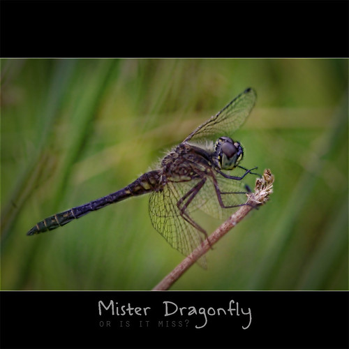 Mr. Dragonfly (or is it Miss)