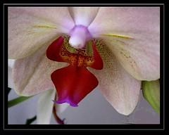Orchid, macro,  , 52-19/1458 (roba66) Tags: plants flores orchid flower macro fleur flora blossom flor pflanzen blumen orchidee blume makro bloem blten flori roba66 blumenorosen