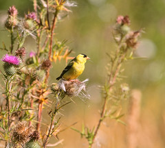 Life is Good... (Peggy Collins) Tags: canada bokeh britishcolumbia goldfinch pacificnorthwest sunshinecoast thistles americangoldfinch thistleseed malegoldfinch birdandflowers peggycollins goldfinchandthistles birdandplants