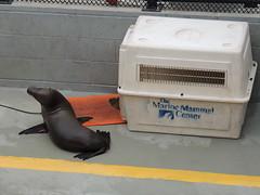 Sea Lion (Jafafa Hots) Tags: ecology marincounty sealions marinheadlands elephantseals seaotters veterinarians wildliferescue fortcronkhite jafafahots