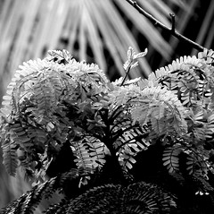 Copperpod leaves with palms in the background (Shomirroy) Tags: bw white black leaves palms copperpod nikoncoolpixp100