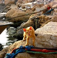 cat (sara.sfr) Tags: sea cat wharf گربه بوشهر bushehr دریا اسکله