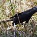 Uccelli fuori La Plata (2)