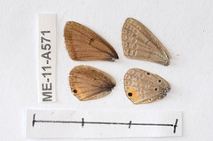 ME-11-A571 Euchrysops katangae (lepdatabase) Tags: zambia lycaenidae polyommatinae polyommatini euchrysops katangae