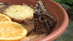 Owl Moth feeding on fruit (stephenquin58) Tags: nature nokia f24 zeisscontest2012