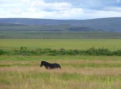An Icelandic Horse - ingvellir, Iceland (hellimli) Tags: horse landscape iceland islandia landschaft islan ingvellir sland islande izland islanda icelandichorse islanti  izlanda