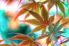 Maple leaves (JPShen) Tags: light color leaves maple bokeh